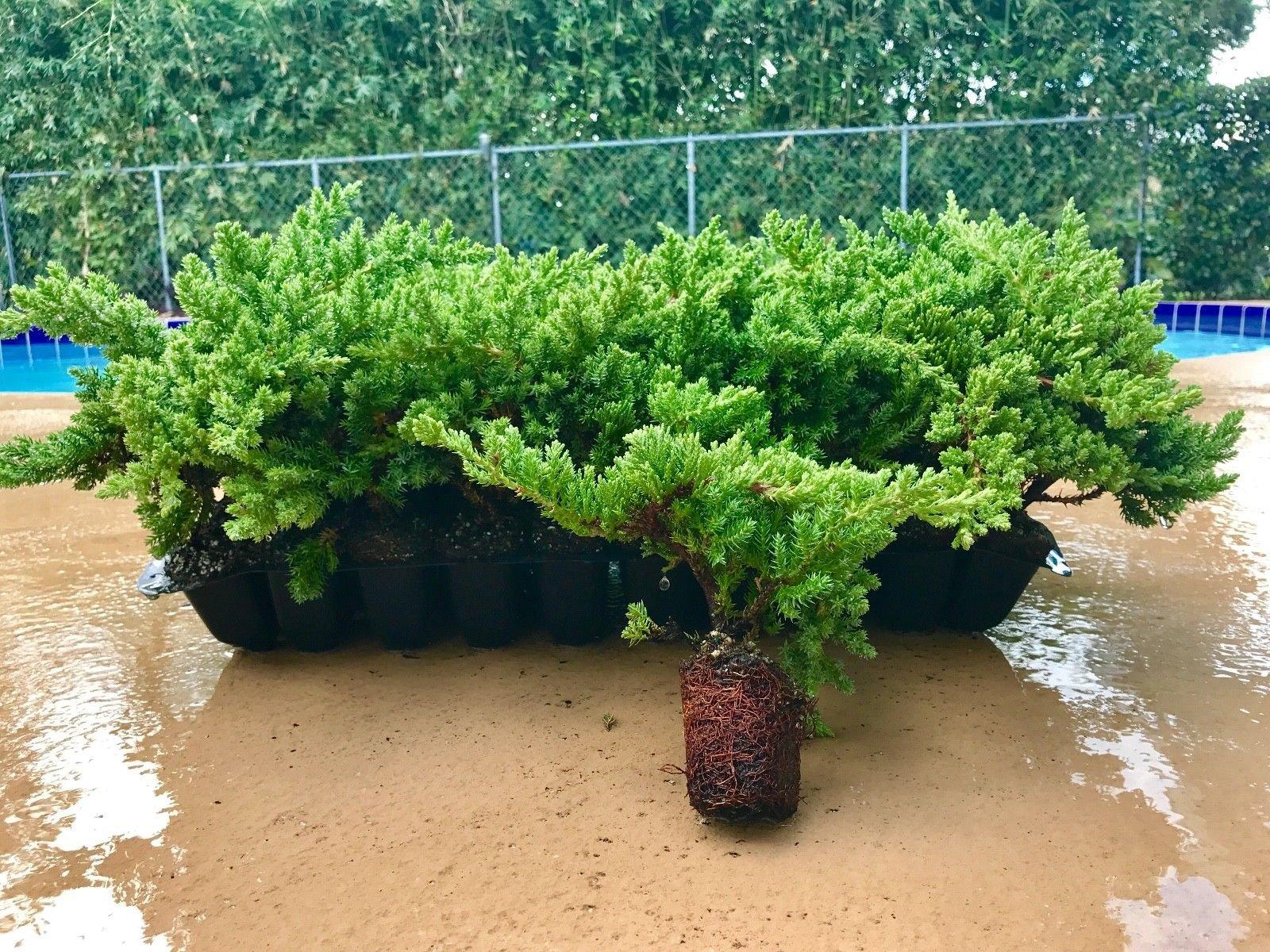 Juniper Procumbens Nana Qty 60 Live Plants Groundcover by Florida Foliage (Image #1)