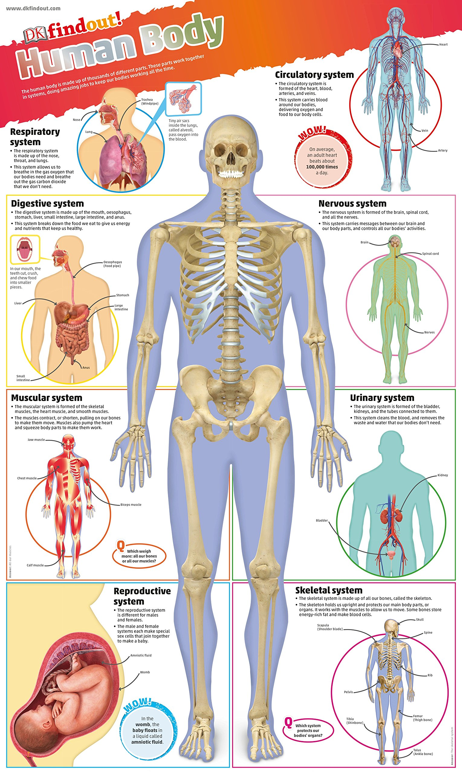 Dkfindout Human Body Poster Dk Amazon Books
