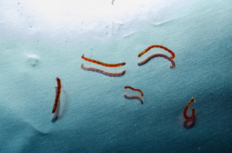 100ml Nourriture Vivante, Larves de moustiques rouges Vivants/Chironomus Spec. WFW wasserflora