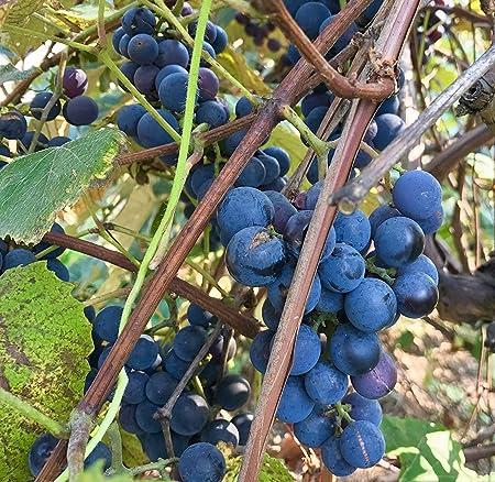 Amazon Com Concord Grape Seeds Vitis Labrusca Concord 10