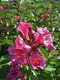 Weigelie Eva Rathke 40-60 cm Strauch für Sonne-Halbschatten Zierstrauch rosa-rot blühend Terrassenpflanze winterhart 1 Pflanze im Topf