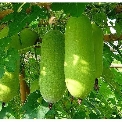 20++ Organic Seeds Winter Melon/Wax Gourd/Dong Gua (Benincasa hispida) : Garden & Outdoor