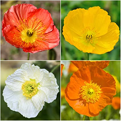 Amazon package of 10 000 flower seeds iceland poppy mixture package of 10000 flower seeds iceland poppy mixture papaver nudicale non gmo mightylinksfo