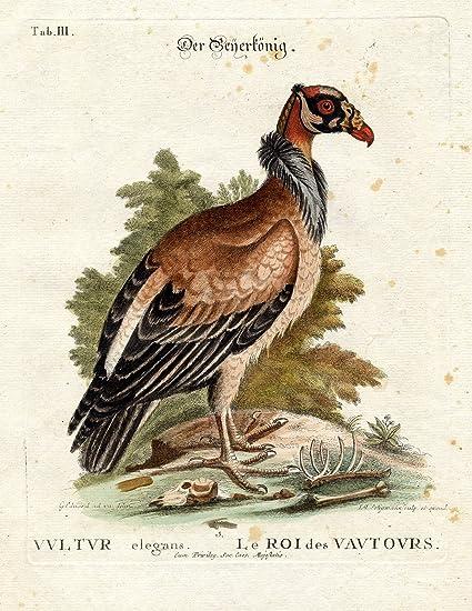 Pájaro Antiguo Impresas Zopilote Rey Pl Iii Edwards Seligmann 1768