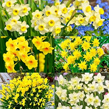 50 mixed dwarf daffodils select your favourite varieties more 50 mixed dwarf daffodils quotselect your favourite varieties more options availablequot spring mightylinksfo