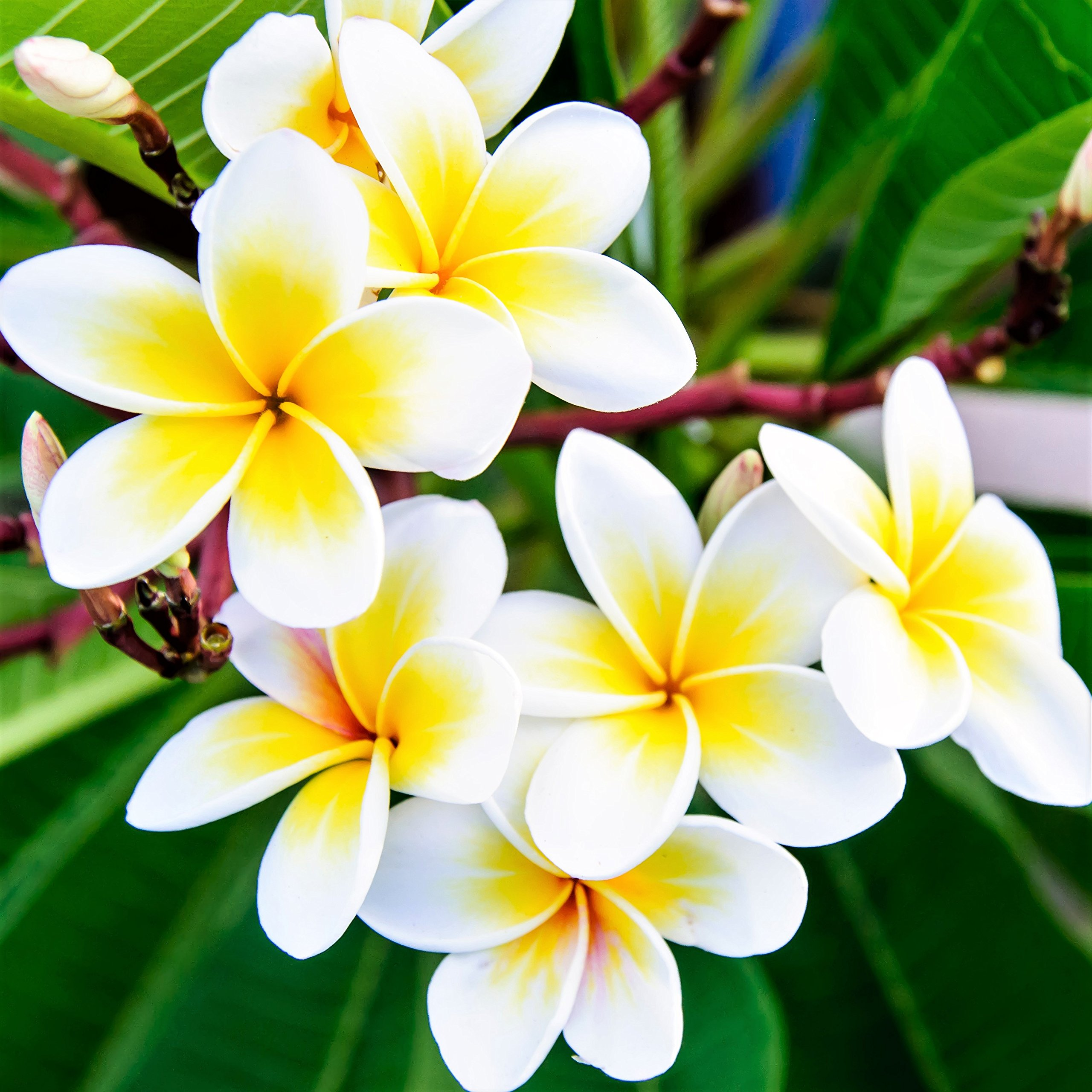 Plumeria - Select Yellows & Whites Plants - Not Just Cuttings. Fragrant Blooms This Summer. Stout 12''-14'' well-rooted plant | Ships From Easy to Grow TM