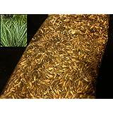 5000 Phalaris Arundinacea Seeds Reed Canary Grass