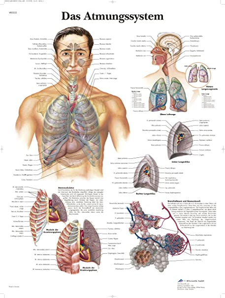 3B Scientific Lehrtafel laminiert - Das Atmungssystem: Amazon.de ...
