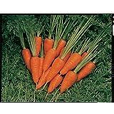 JustSeed - Vegetable - Carrot - Short n' Sweet - 50 Seeds - Economy Pack