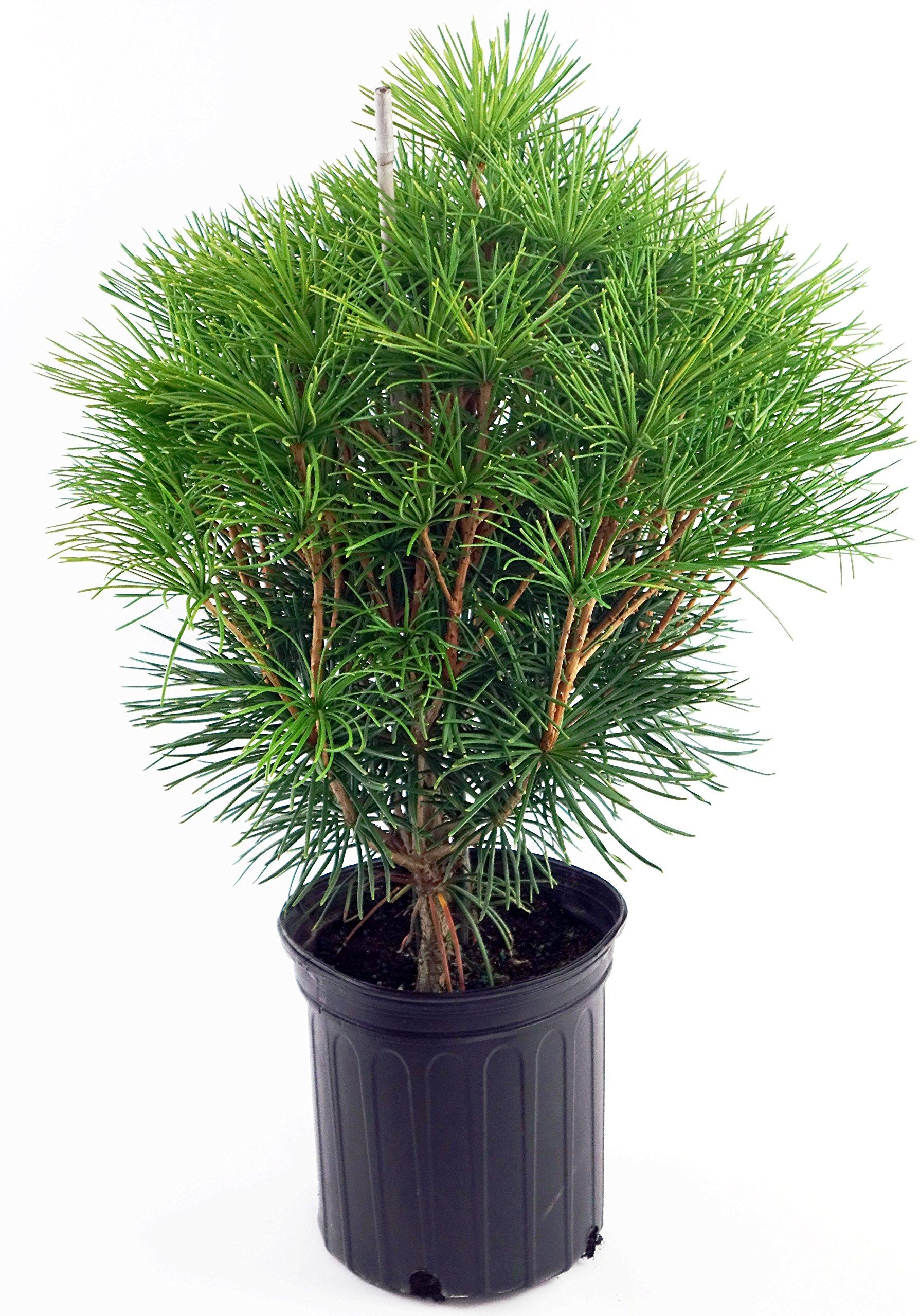 Sciadopytis verticillata (Japanese Umbrella Pine) Evergreen, #2 - Size Container