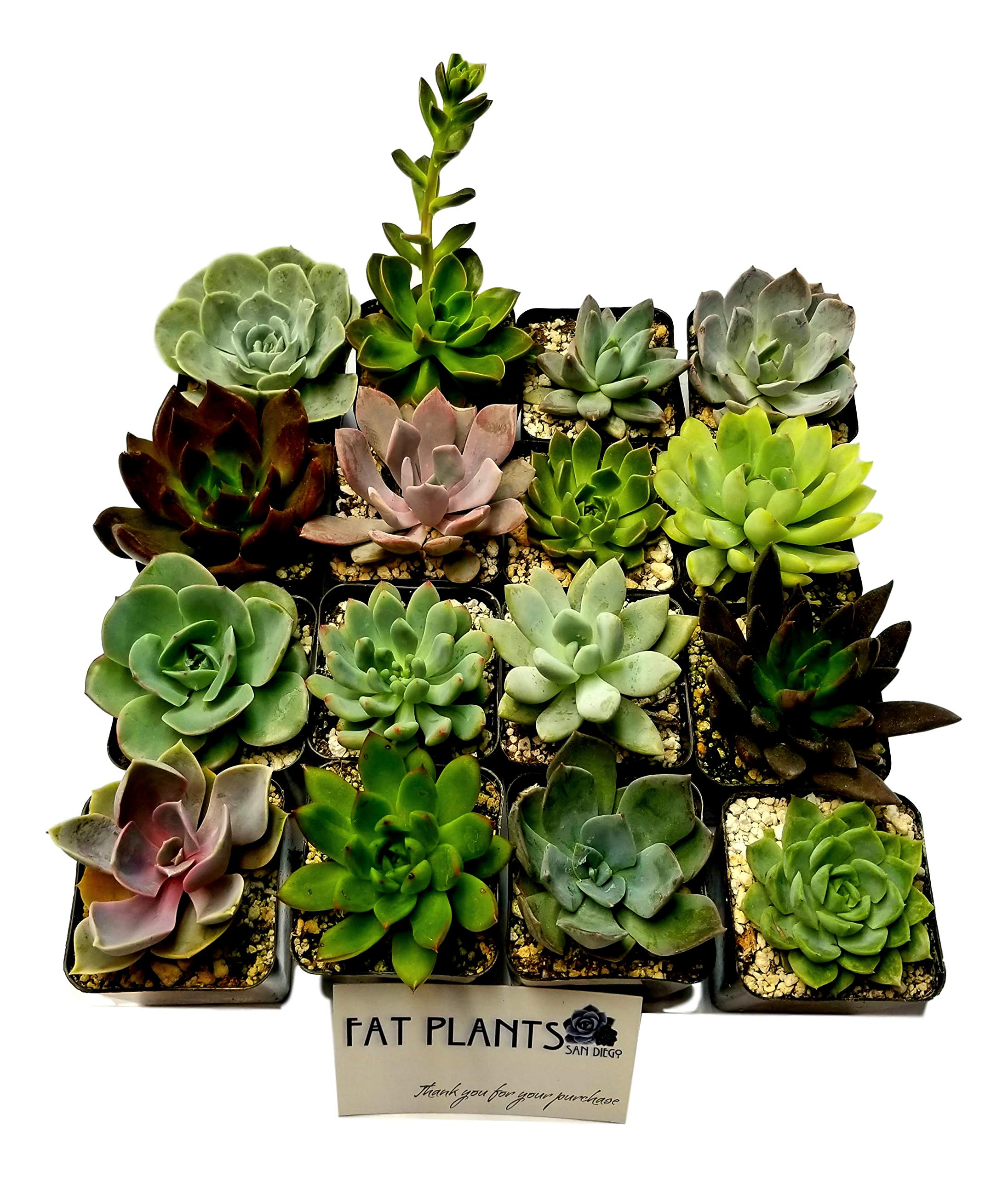 Fat Plants San Diego 2.5 Inch Wedding Rosette Succulent Plants (16) by Fat Plants San Diego