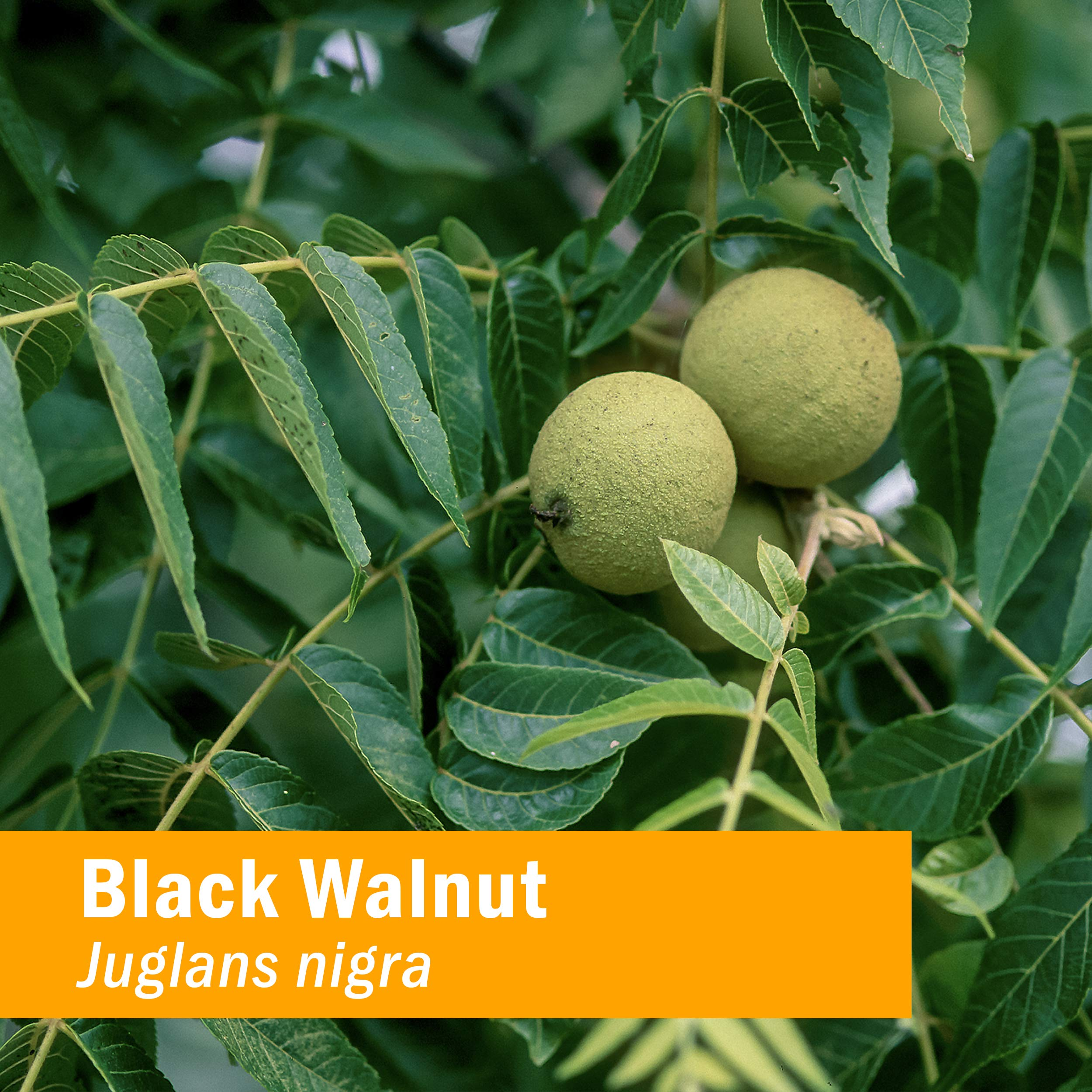 Black Walnut Liquid Extract for Cleansing and Detoxifying