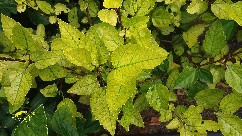 TODOCULTIVO Fertilizante Quelato de Hierro. 1 Kilo. Corrige Las carencias de Hierro de los Cultivos de Forma Prolongada.: Amazon.es: Jardín