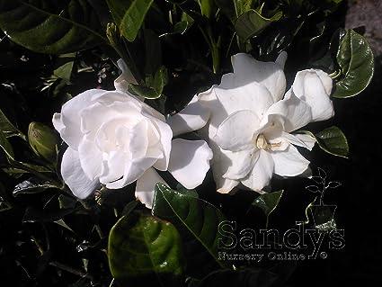 Captivating Sandys Nursery Online Gardenia U0027August Beautyu0027 4 ...
