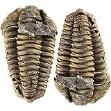 Zentron Crystal Collection Calamene Trilobite Prehistoric Fossil