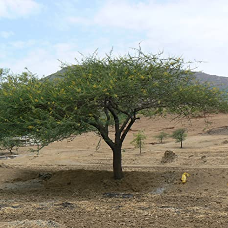 Amazoncom Gum Arabic Tree Seeds Acacia Senegal 5 Rare