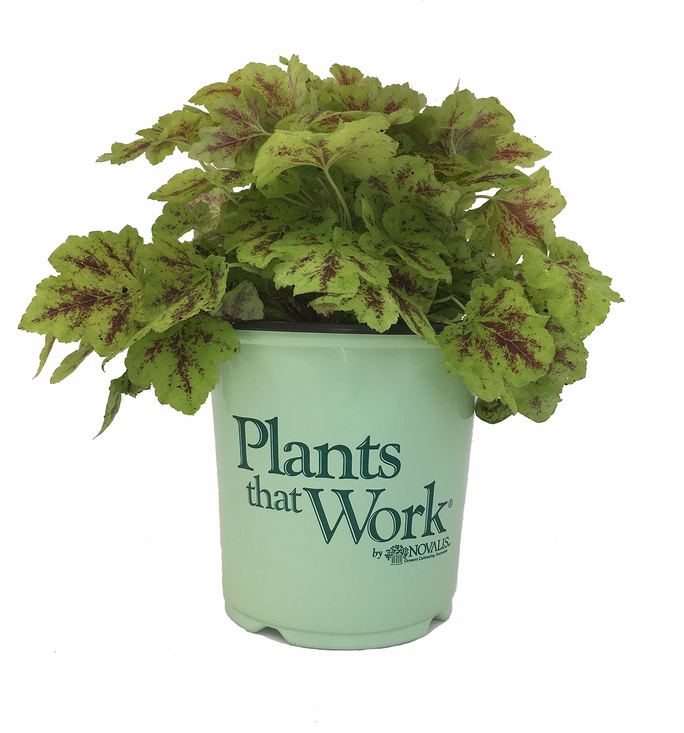 Plants that Work Solar Power Foamy Bells - Heucherella Solar Power - 19cm