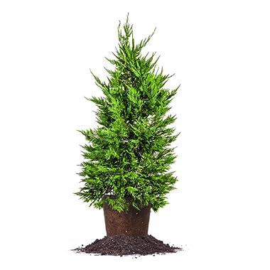 Perfect Plants leyland-5-6-FT Cupressocyparis leylandii Tree, 5 Gallon, Green