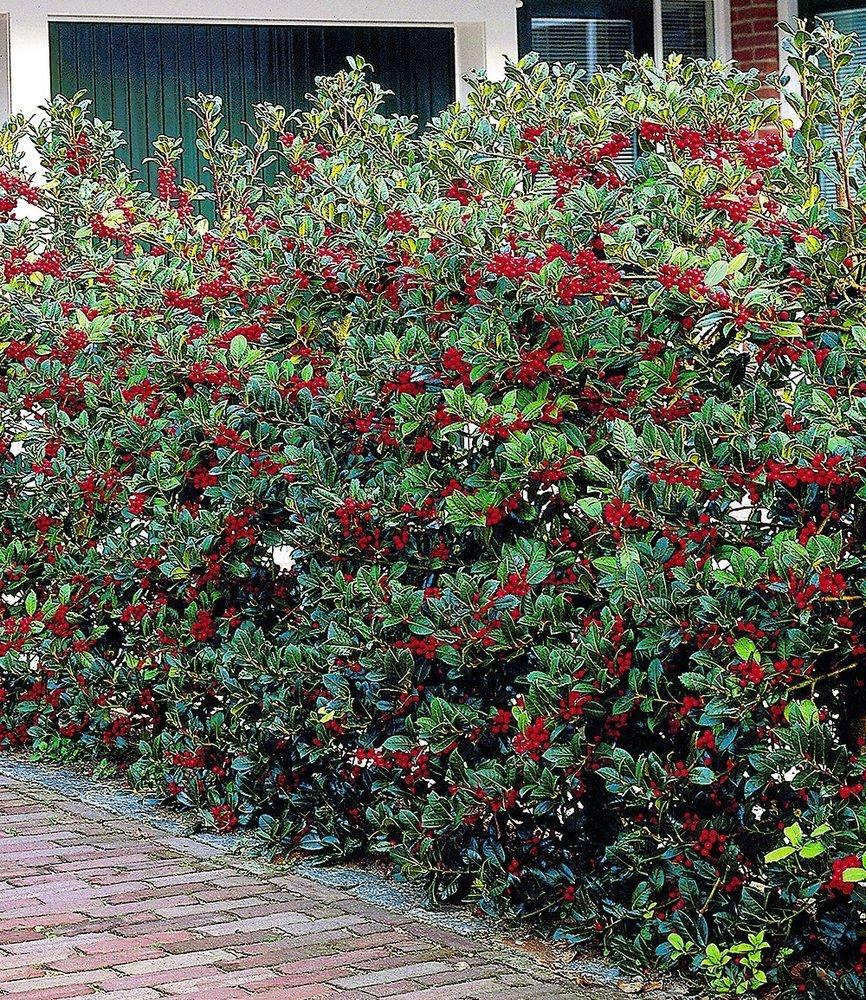 BALDUR Garten Ilex Hecke Heckenfee 5 Pflanzen Ilex meserveae