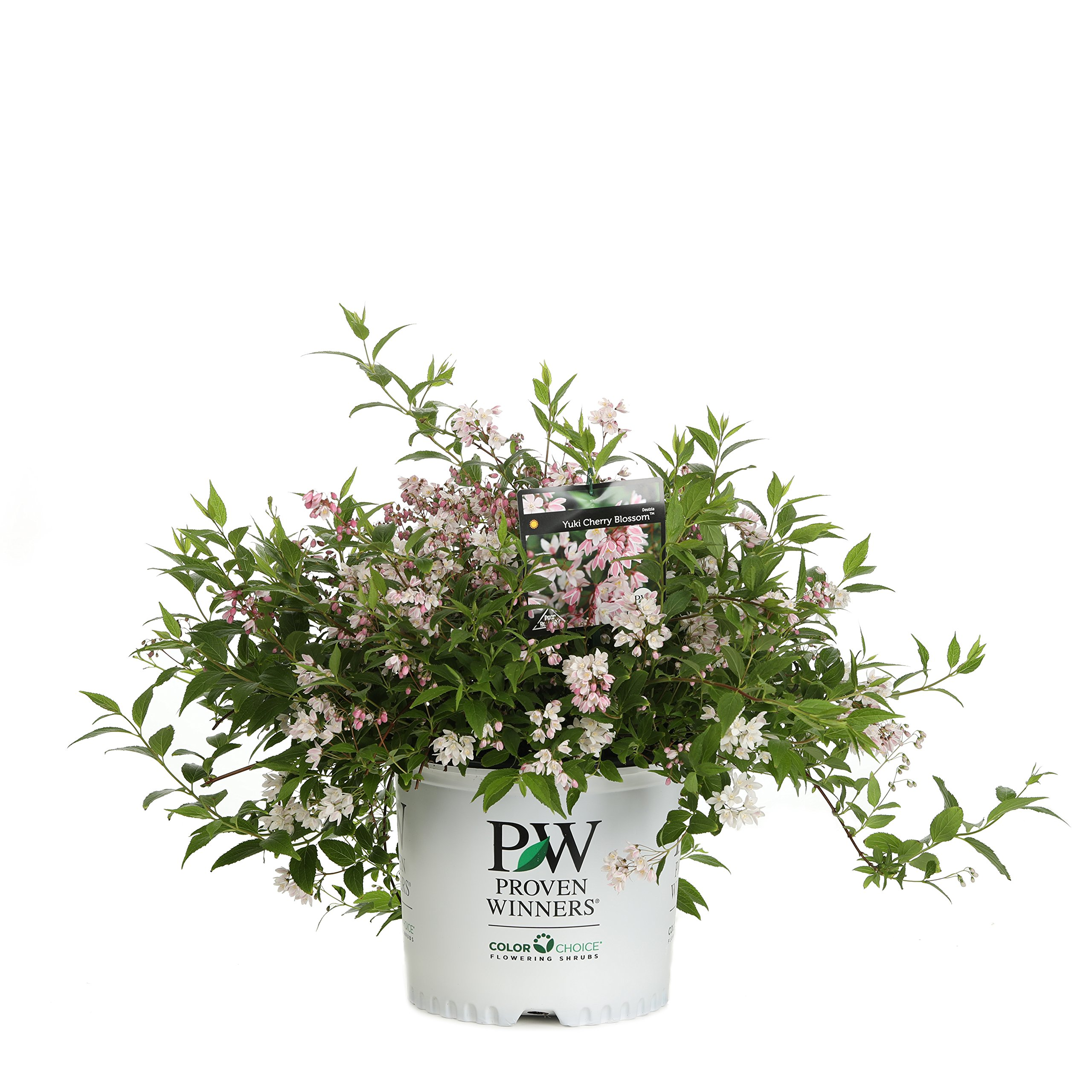 Yuki Cherry Blossom (Deutzia) Live Shrub, Light Pink Flowers, 3 Gallon by Proven Winners