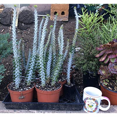 AchmadAnam - Live Plant - Alluaudia procera Ocotillo Cactus Succulent, It's Like A Weapon! : Garden & Outdoor