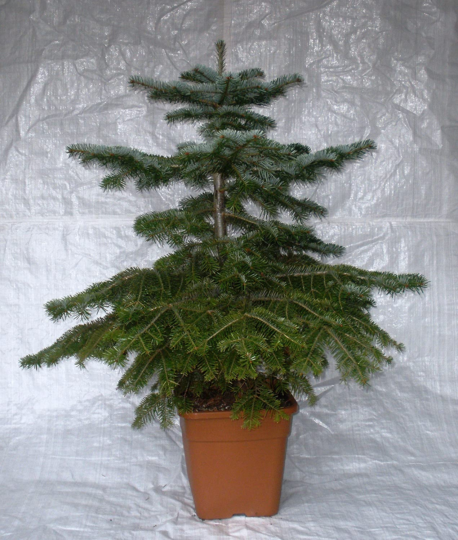 Nordmann Fir, Nordman Fir, Container Grown Living Christmas Tree ...