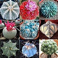 Las semillas de cactus, Cactus 100 piezas Semilla Mini Fácil Cultivando Ligera decorativo Bonsai Semilla para jardinería…