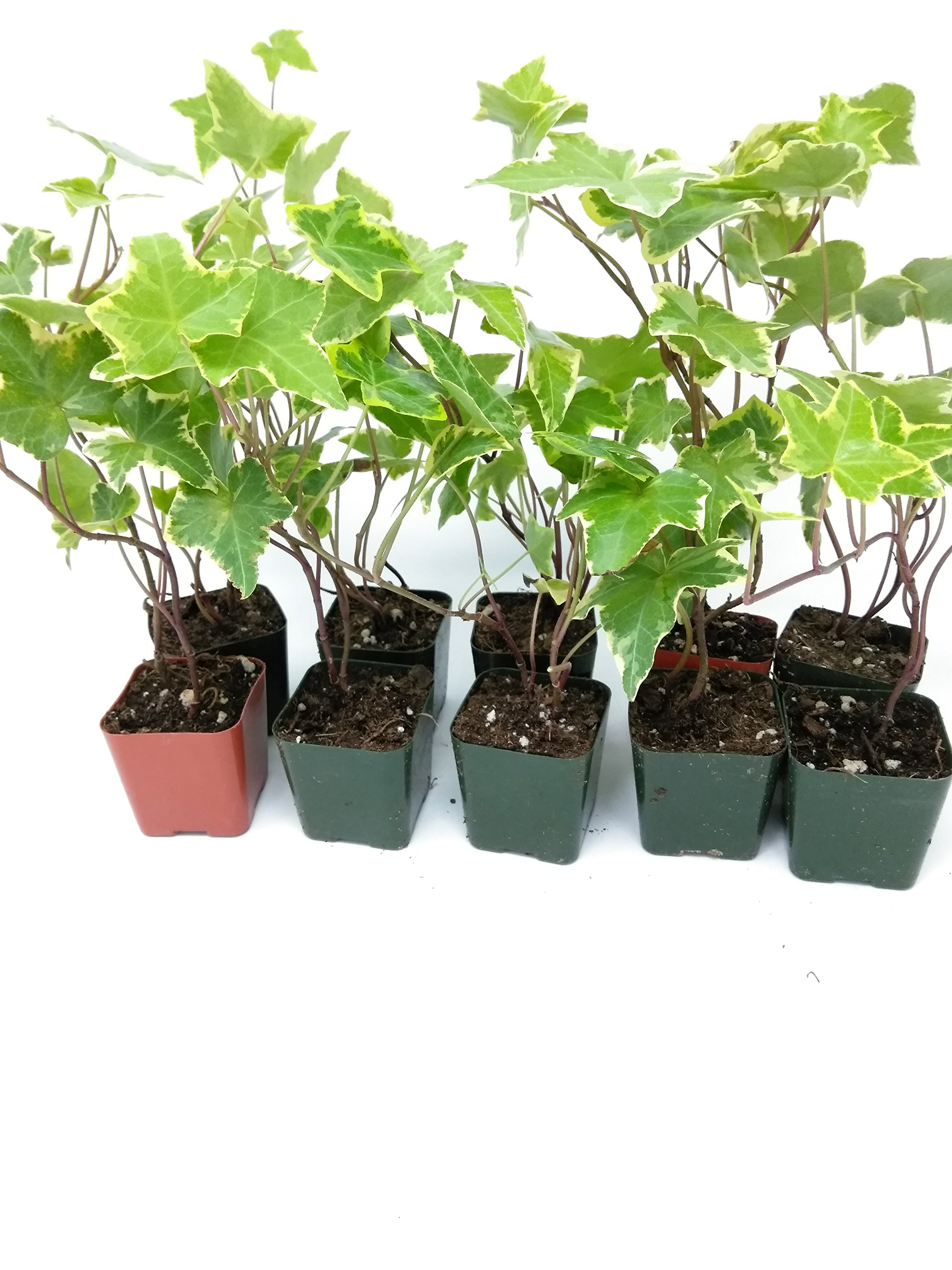 Jmbamboo - English Ivy Hedera Helix Air Purification Plant - Groundcover - 2 1/4'' Pot by Jmbamboov (Image #3)