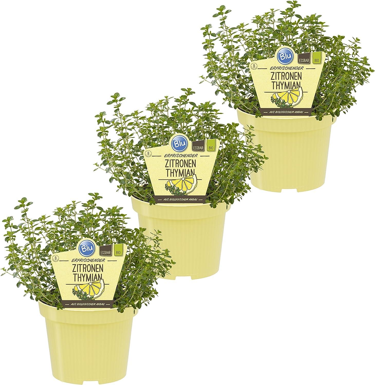Dominik Blumen und Pflanzen Bio Kräuter Zitronen Thymian 3