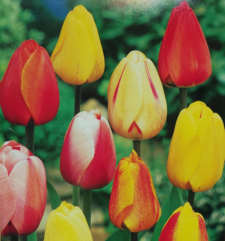 100 Mixed Darwin Hybrid Tulips Bulbs Spring Flowering Garden Perennial by Bonnies Oak (100) Bonnies Bulbs