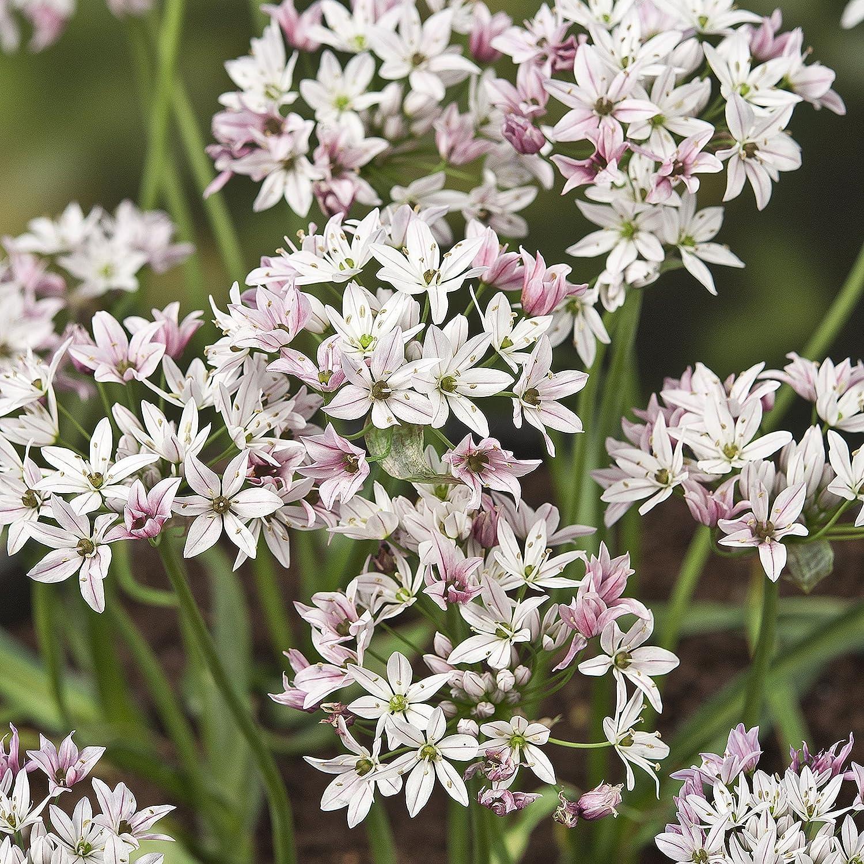 120 x Allium Caméleon - Ail d'Ornement - Bulbe à Fleurs Vivace Gardens2you