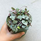 String Of Heart Plant (Not VARIEGATED) RARE Beautiful Ceropegia Woodii succulent (4 inch)