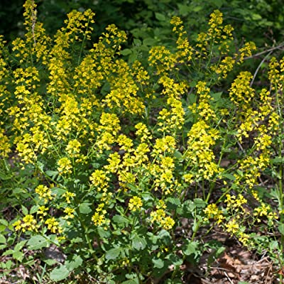 Yellow Rocket Seeds (Barbarea vulgaris) 30+ Rare Medicinal Herb Seeds in FROZEN SEED CAPSULES for The Gardener & Rare Seeds Collector - Plant Seeds Now or Save Seeds for Years : Garden & Outdoor