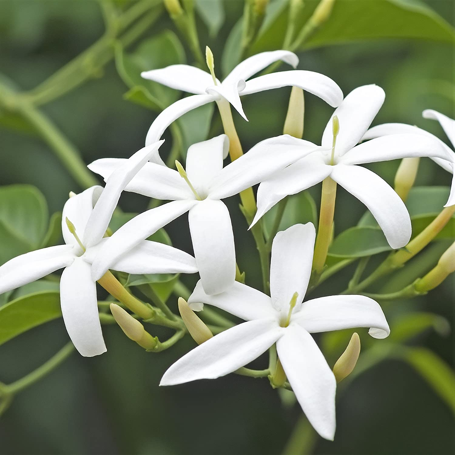 Amazon Hardy Jasmine Jasminum Officinale 1 Plant In Pot