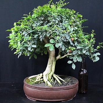 Bois jasmin, Bonsaï d\'intérieur, 29 ans, hauteur 43 cm: Amazon.fr ...