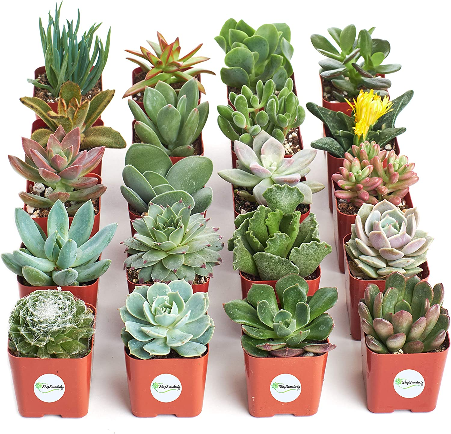 Amazon Com Shop Succulents Unique Collection Of Live Plants