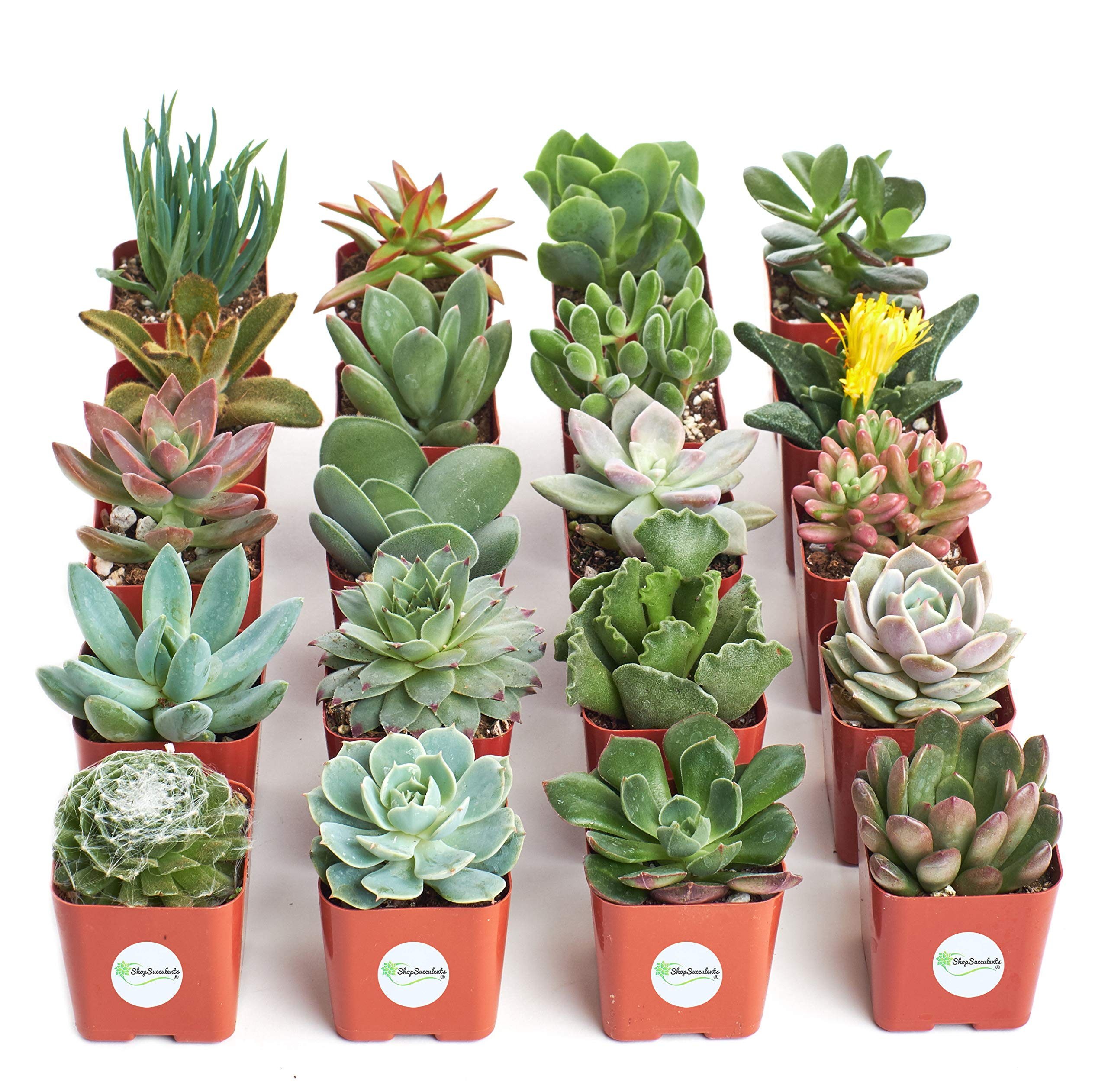 Shop Succulents | Unique Collection of Live Plants, Hand Selected Variety Pack of Mini Succulents, Pack of 20 by Shop Succulents