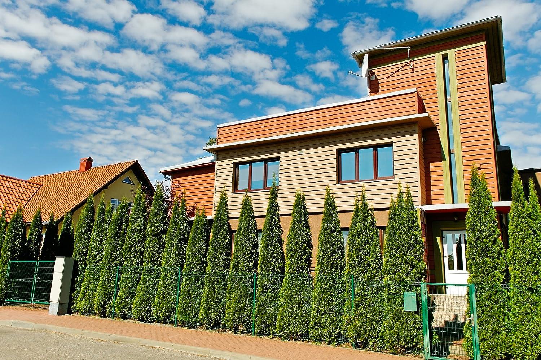 10 Stück Thuja Smaragd im Topf oder Container Größe 60 bis 80 cm