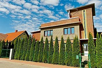 Thuja Smaragd Lebensbaum Im Container 100 Bis 125 Cm Amazon De Garten