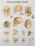 "3B Scientific VR0131UU Glossy Paper Der Menschliche Schadel Anatomical Chart (Human Skull Anatomical Chart, German), Poster Size 20"" Width x 26"" Height"