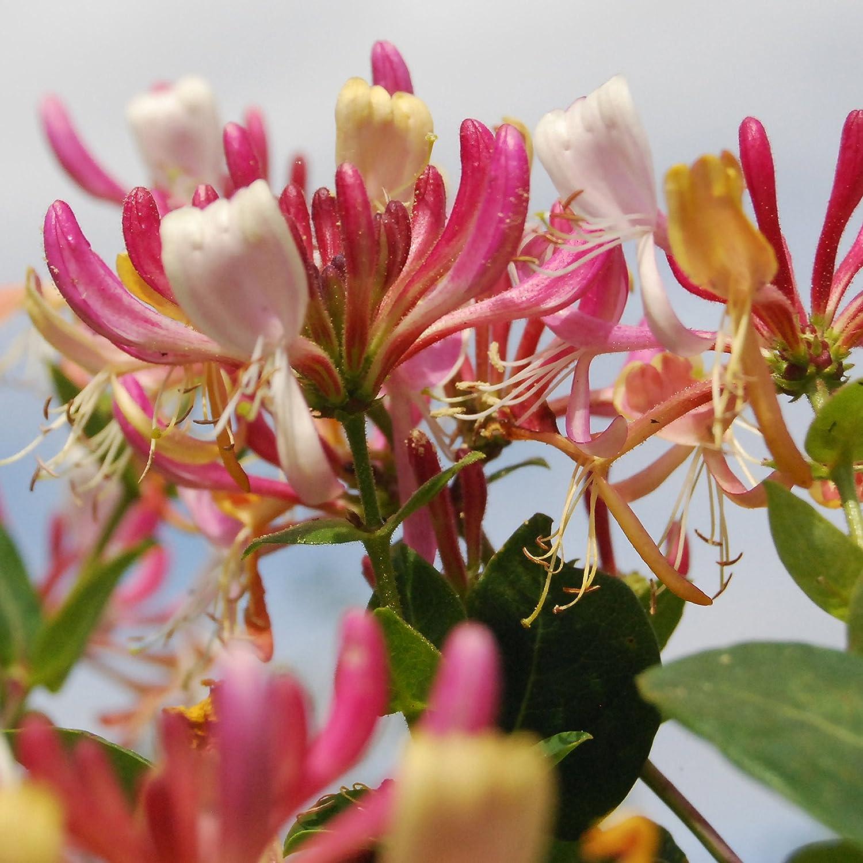 Belgica Select 30 cm hoch 1 Pflanze plus 1 Paar Handschuhe gratis ca Jel/ängerjelieber Dominik Blumen und Pflanzen Lonicera periclymenum 0,9 Liter Container