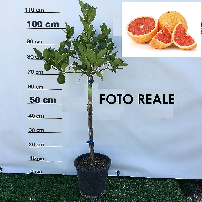 Planta de pomelo rojo árbol de pomelo rojo de jarrón 18 cm cítricos de Sicilia H 110 cm amdgarden: Amazon.es: Jardín