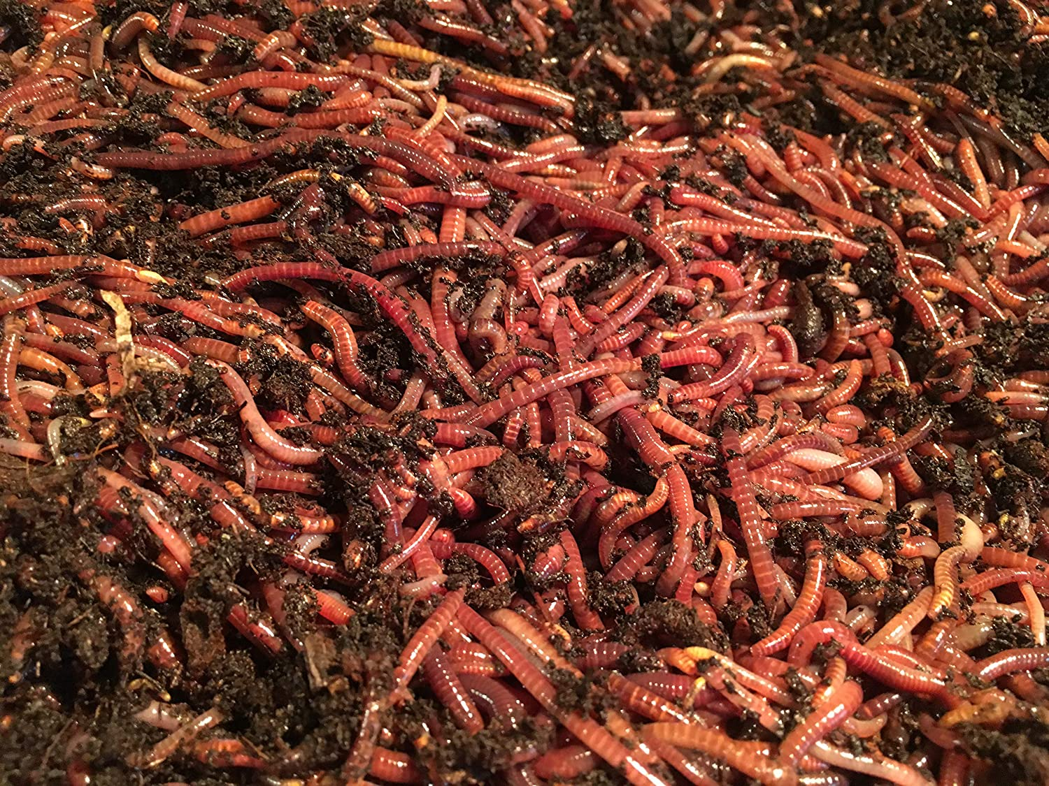 Red Wigglers 1//2 pound