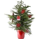 costa farms live norfolk island pine indoor christmas tree large - Live Mini Christmas Tree