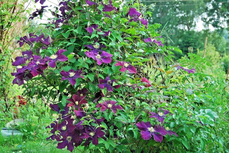Clematis Hybrid 'Warsaw Nike' Large Flowering Plug Plant climbing shrub by Leegillard (1)