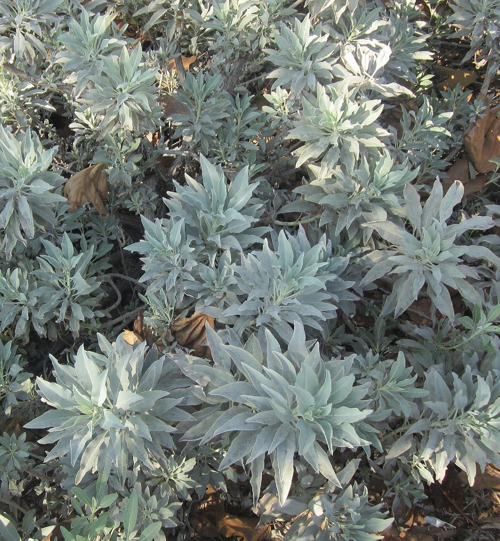100 impressive Magic Seeds White Sage Salvia Apiana seeds Garden Herb Seeds SVI