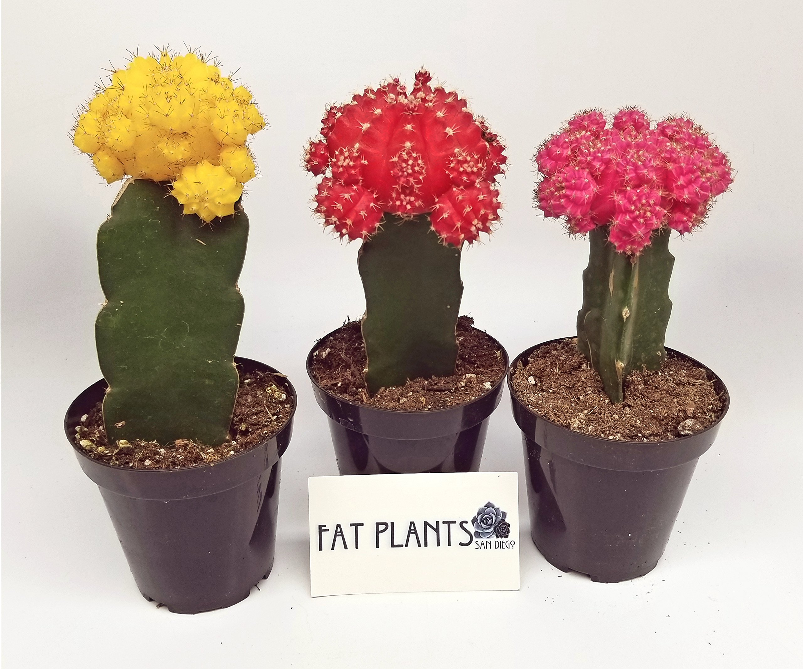 Fat Plants San Diego Grafted Moon Cactus Succulent Plants (3, Multi)