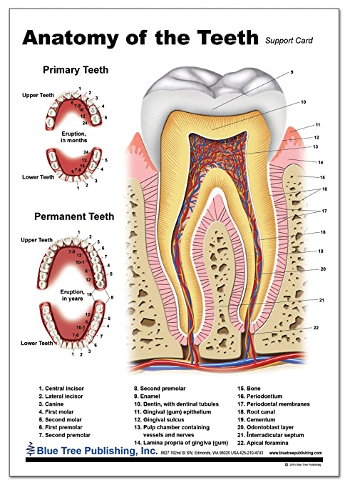 Amazon Tooth Support Card Office Products