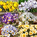 Humphreys Garden Crocus Mixed x 50 Bulbs Bulbos de Flores