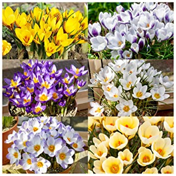 50 x crocus bulbs mixed species spring flowering bulbs amazon 50 x crocus bulbs mixed species spring flowering bulbs mightylinksfo